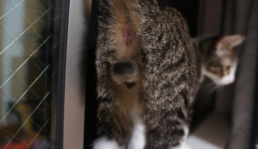 【Twitter 】「#おしりを見るとストレスが減るらしい 」というタグの猫まとめ。