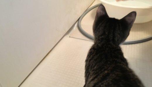 2度目の猫シャンプー!今回はシャンプー後がメイン!