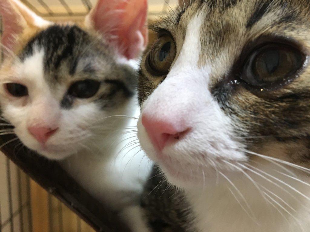 三毛猫 キジトラ あめ つゆ 猫 写真