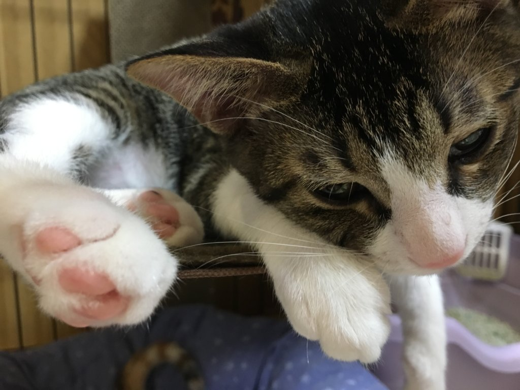 キジ白 キジシロ 保護猫 つゆ
