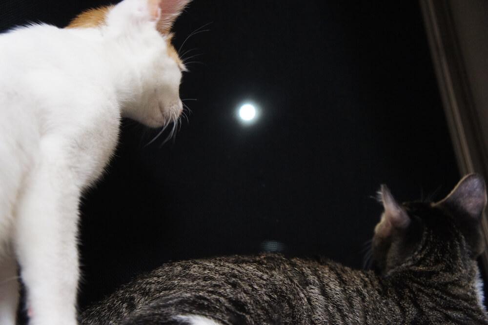 三毛猫 キジ白 勧め まずい 猫