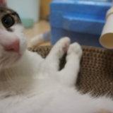 オフショット あめ 三毛猫