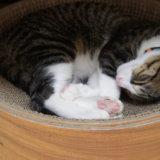 キジ白 つゆ 猫 爪研ぎ サークル