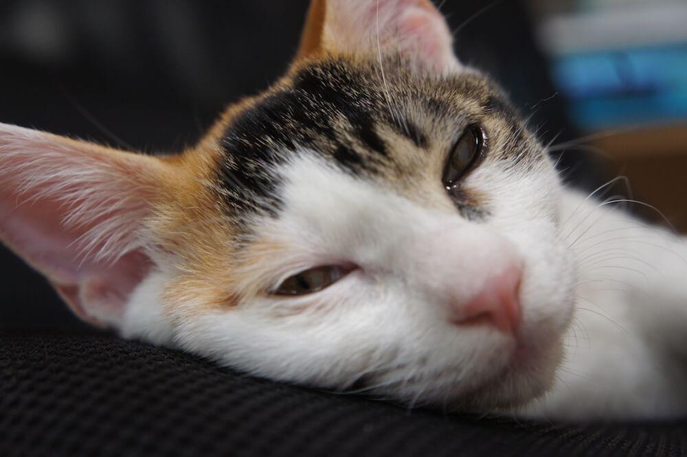 椅子 あめ 三毛猫 眠る
