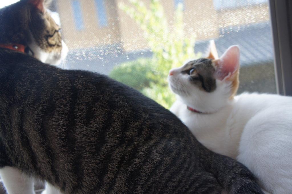 3ヶ月目 キジ白 保護猫  ニャルソック
