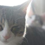 3ヶ月目 キジ白 保護猫