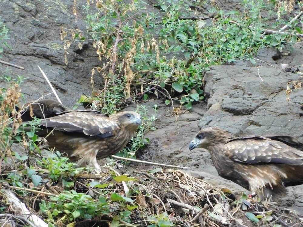 江の島 猛禽類 トビ