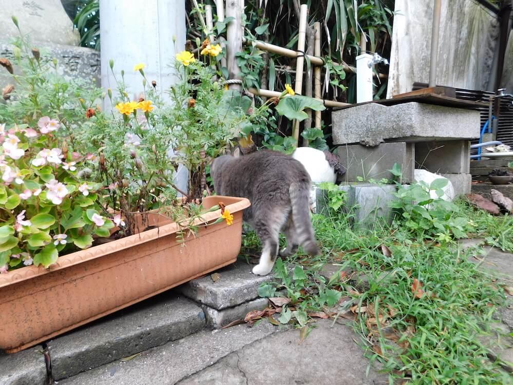 江ノ島 猫島 猫 グレイ 灰猫