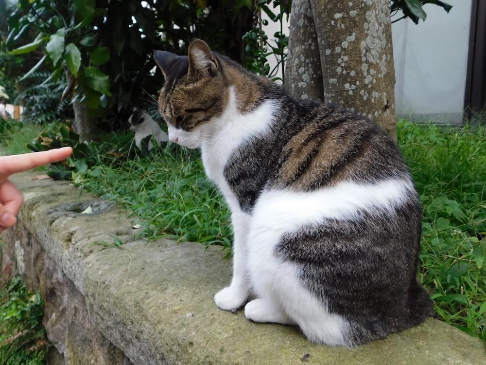 江ノ島 裏路地 キジ白 猫