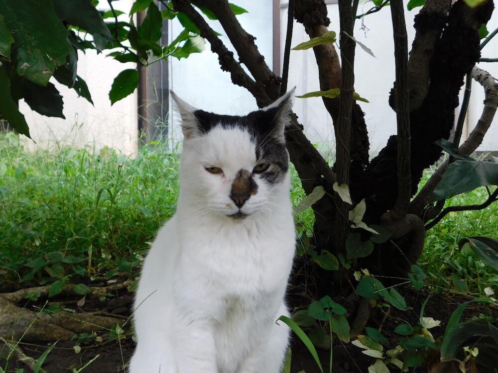 江ノ島 裏路地 シロ ブサ猫 猫
