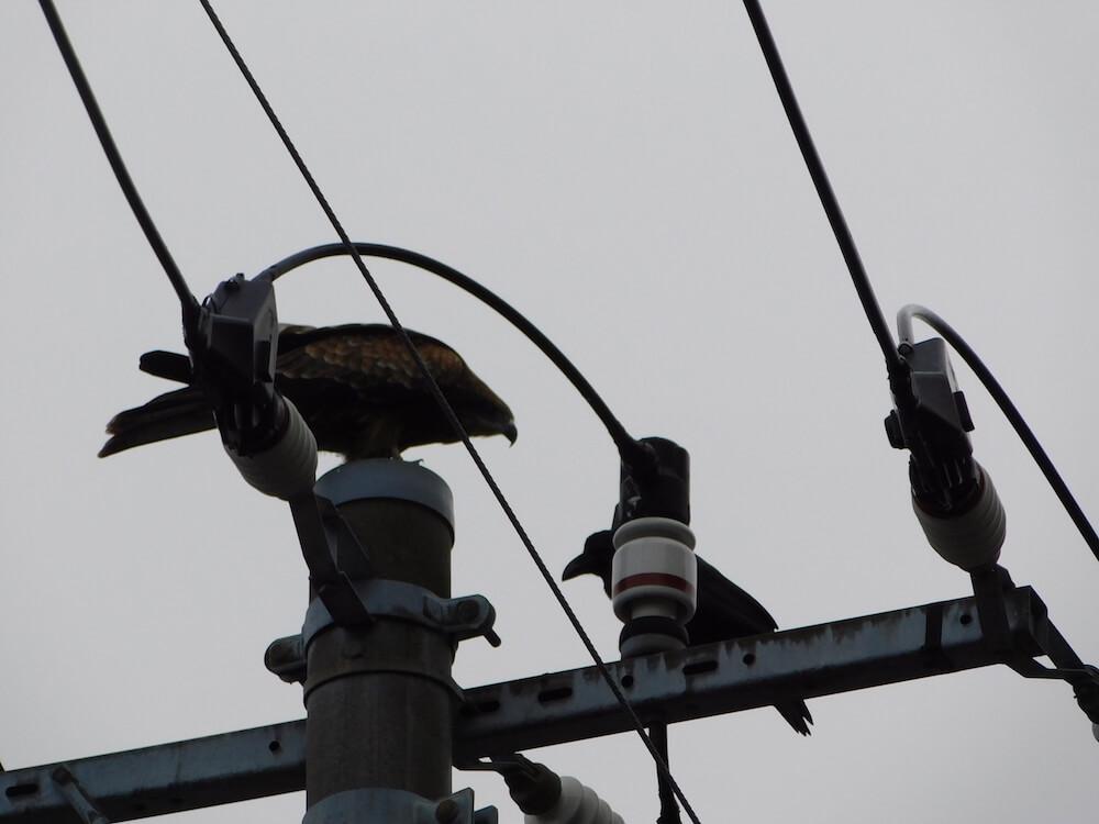 江の島 猛禽類 トビ カラス