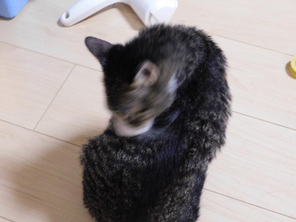猫 シャンプー タオル タオルドライ キジ白