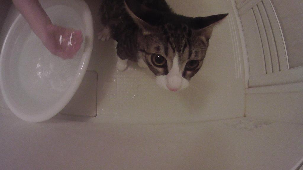 シャンプー 猫 キジ白 つゆ タライ