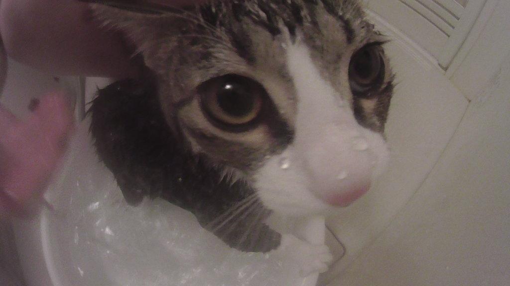 シャンプー 3度目 猫 キジ白