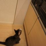 猫 キジ白 コンロ キッチン 台所