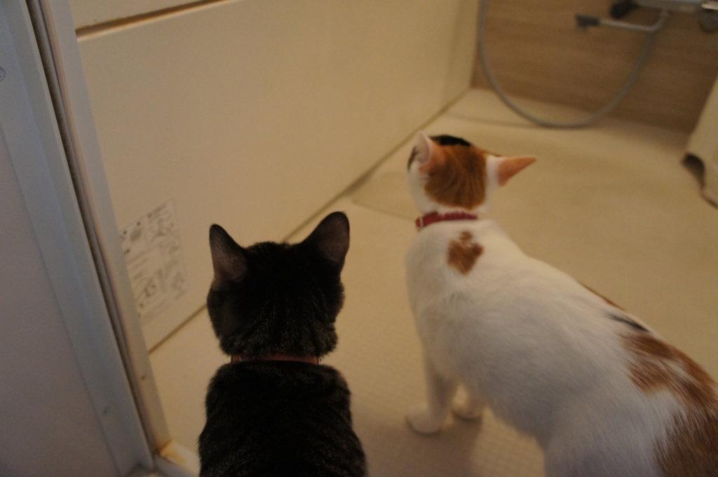 猫 キジ白 三毛猫 お風呂場 シャンプー対策