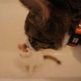 猫 キジ白 三毛猫 お風呂場 シャンプー対策 浴槽