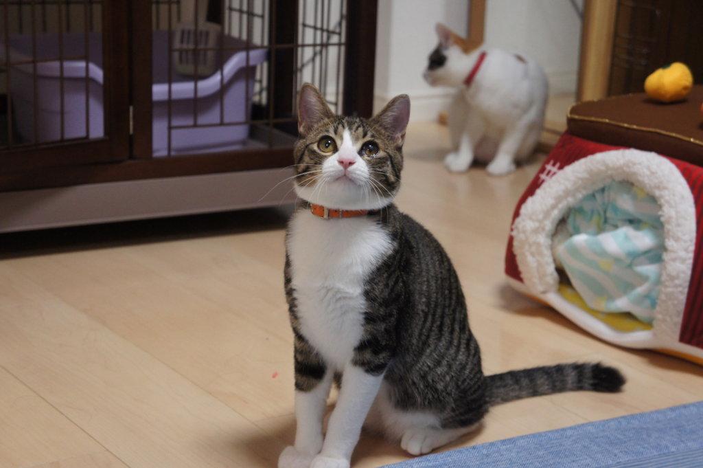 猫トイレ キジ白 つゆ