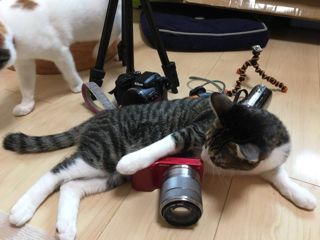 猫 キジ白 sony NEX-3 ミラーレス一眼