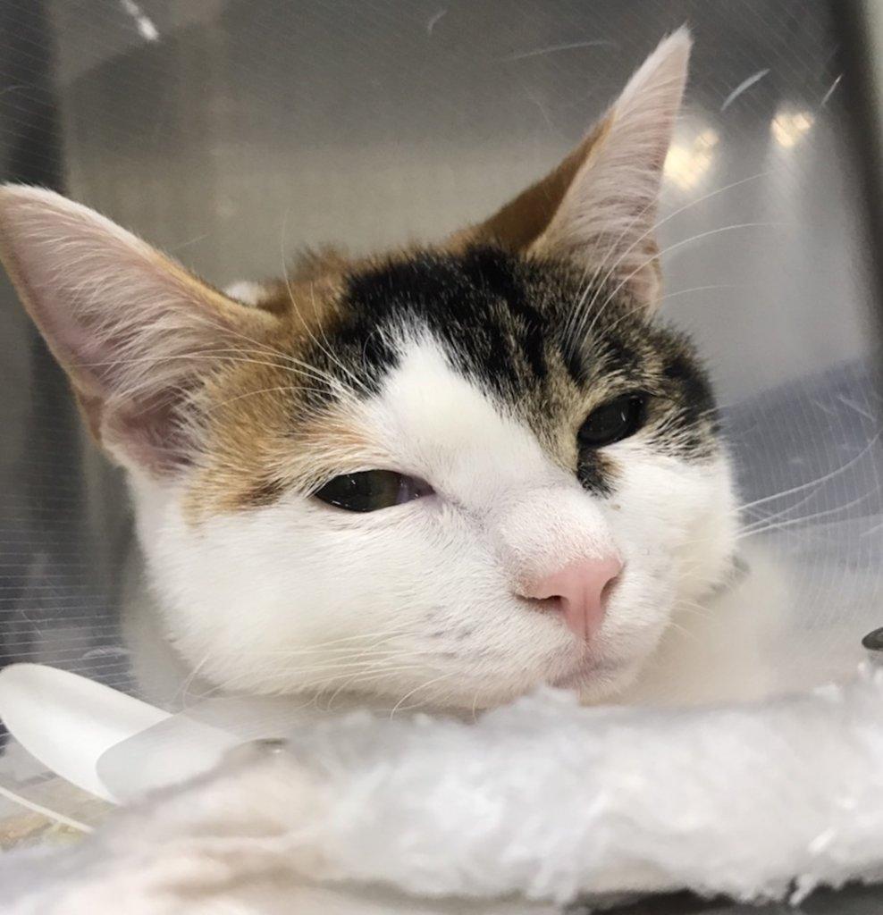 三毛猫 避妊手術 手術後 動物病院