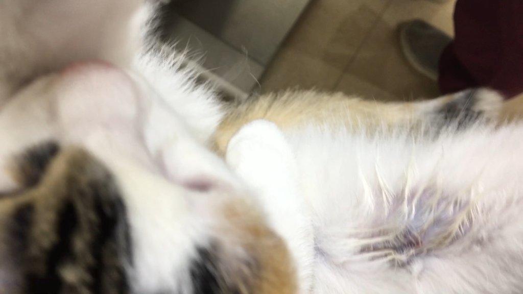 猫 採血後 三毛猫