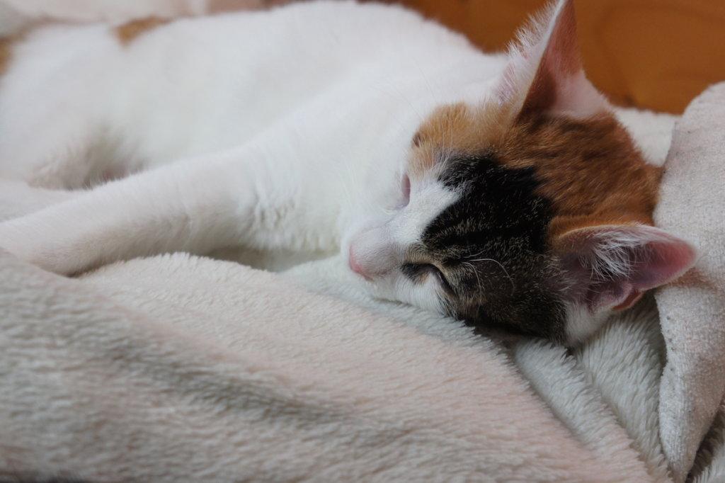 三毛猫 避妊手術 抜糸