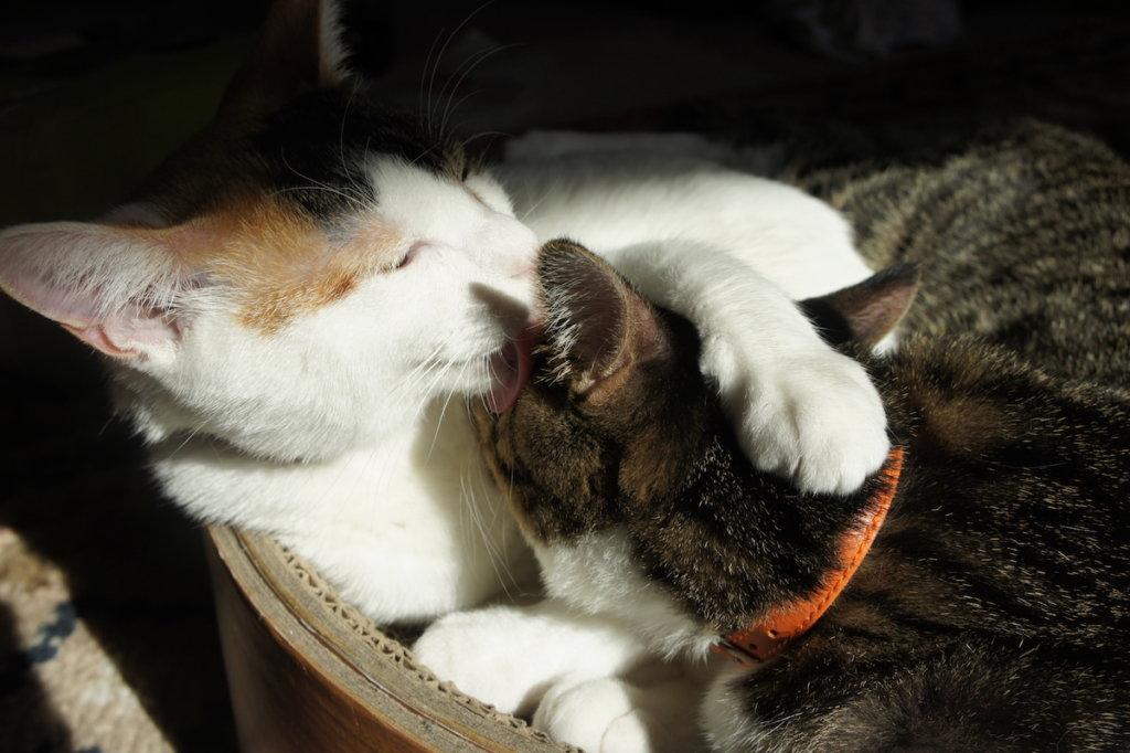 三毛猫 キジ白 あめ つゆ