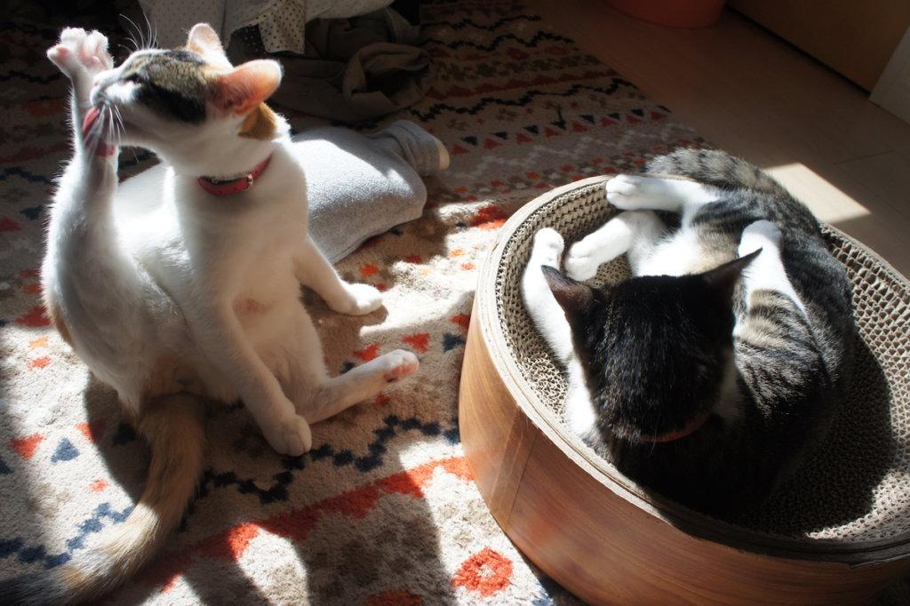 キジ白 三毛猫 手術後