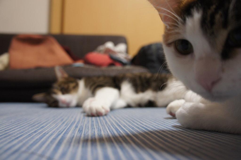 三毛猫 キジ白