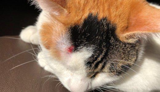 三毛猫「あめ」がおでこを怪我した!処置と経過。そして犯人は、やはり・・・