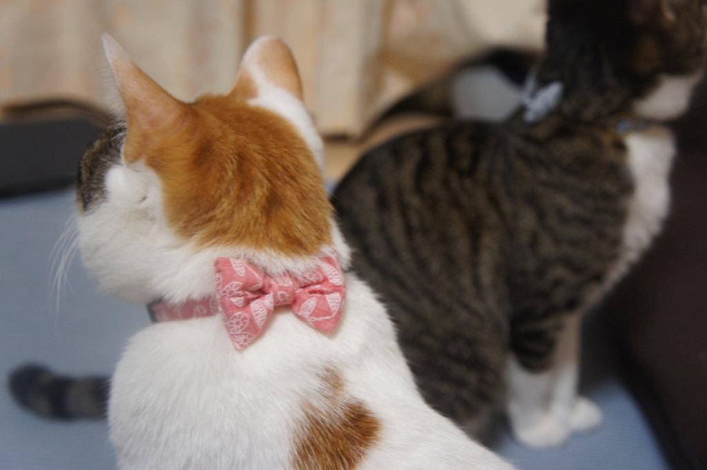 猫 首輪 鈴 リボン つゆ キジ白 あめ 三毛猫
