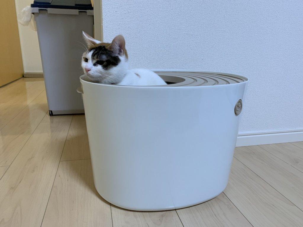 三毛猫 あめ メス 保護猫