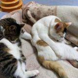 三毛猫 キジ白 あめ つゆ 保護猫 猫