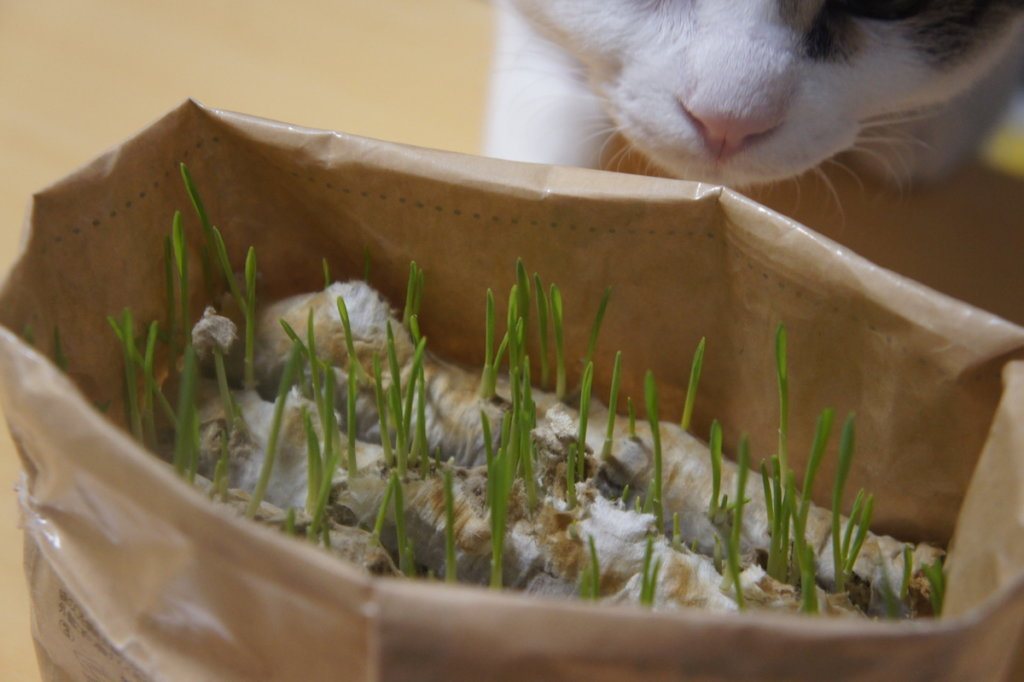 猫草栽培セット 猫草 無印 無印良品 ウールサッキング 三毛猫 キジ白