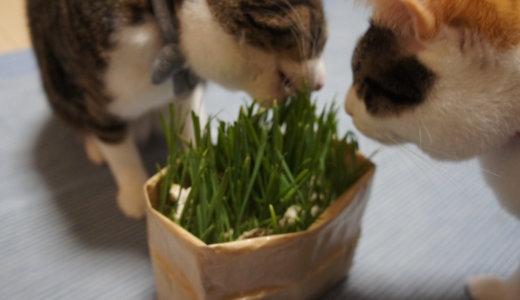 【レビュー】無印良品の「猫草栽培セット」で育てて食べさせてみた!買うなら店舗がお得!