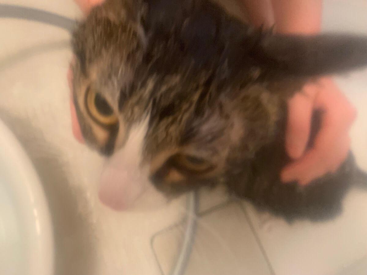 つゆ キジ白 シャンプー 猫 お風呂