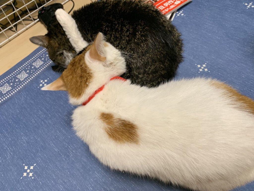 つゆ キジ白 シャンプー 猫 お風呂あめ 三毛猫