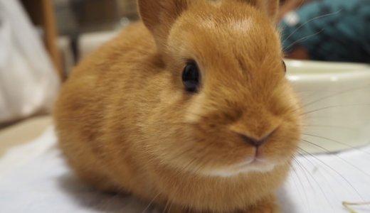 猫じゃなくてウサギ!ネザーランドドワーフのおはぎに会ってきました!めっちゃ可愛いぃ!!
