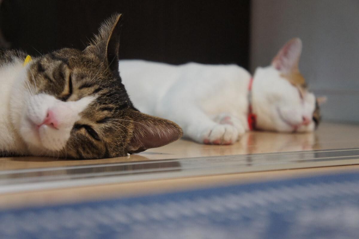 三毛猫 キジ白 猫 うさぎ 比較
