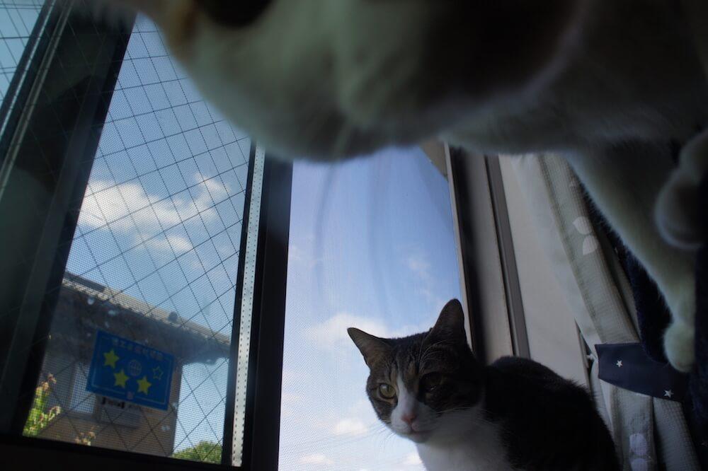 三毛猫 キジ白 猫 ニャルソック 一年