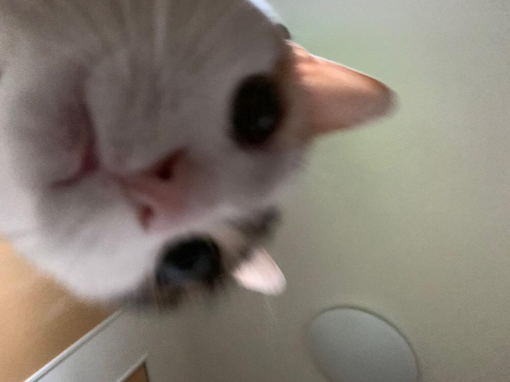 三毛猫 病院 通院 誤食 あめ 異食症 ウールサッキング ウールチューイング