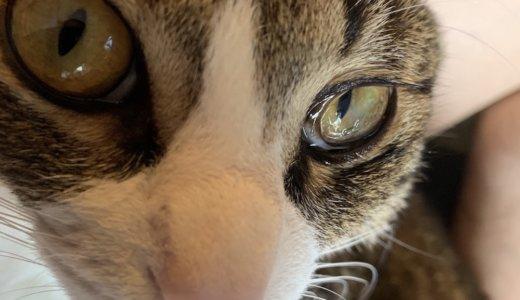 猫の眼球に毛が入っている時の対処法!病院の人にも確認してみました!