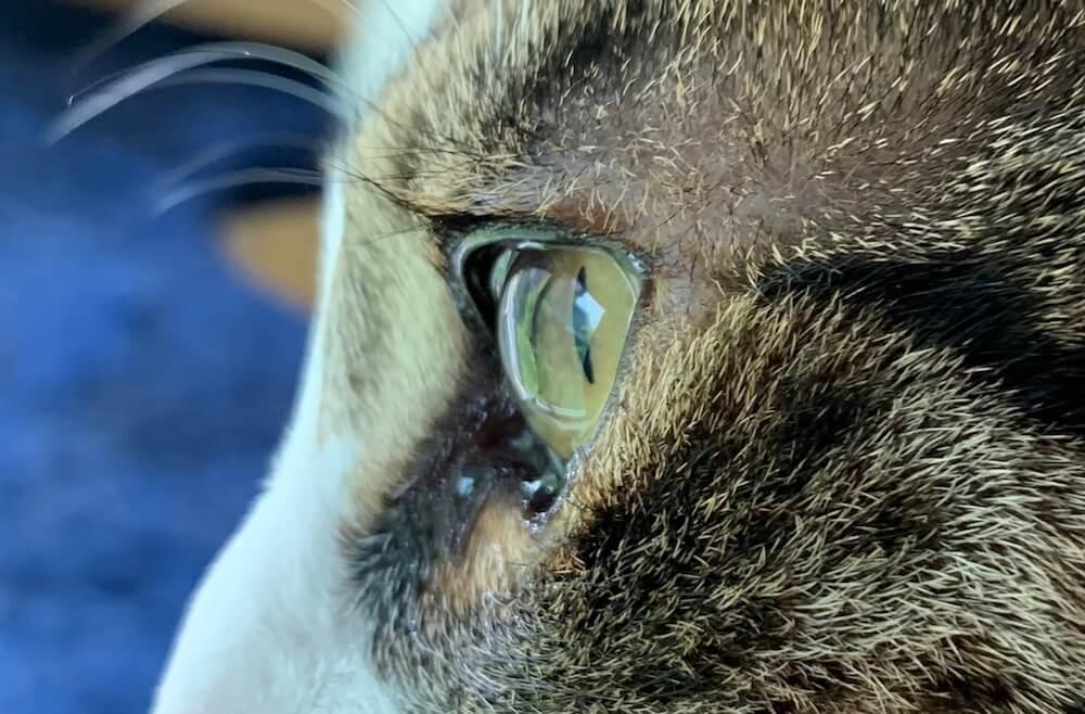 つゆ キジ白 猫の目 毛が入った 眼球 対処方法