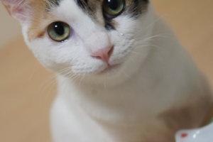 三毛猫 あめ 涙 元野良猫 保護猫