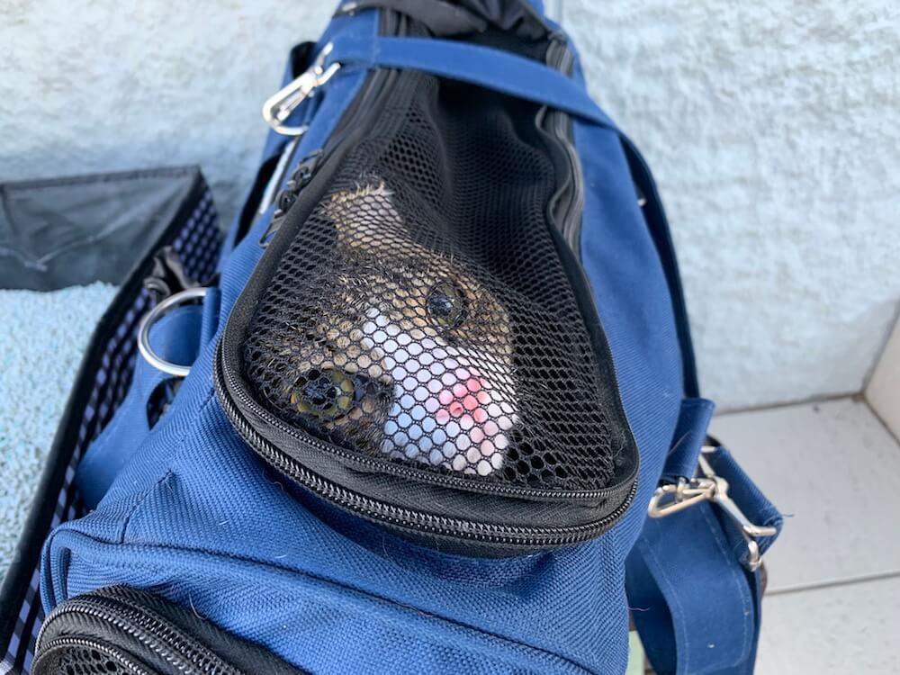 ペットホテル 日記 旅行 動物病院 預け キジ白 お留守番 三毛猫 猫