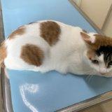 猫 動物病院 診察台 体重測定 キジ白