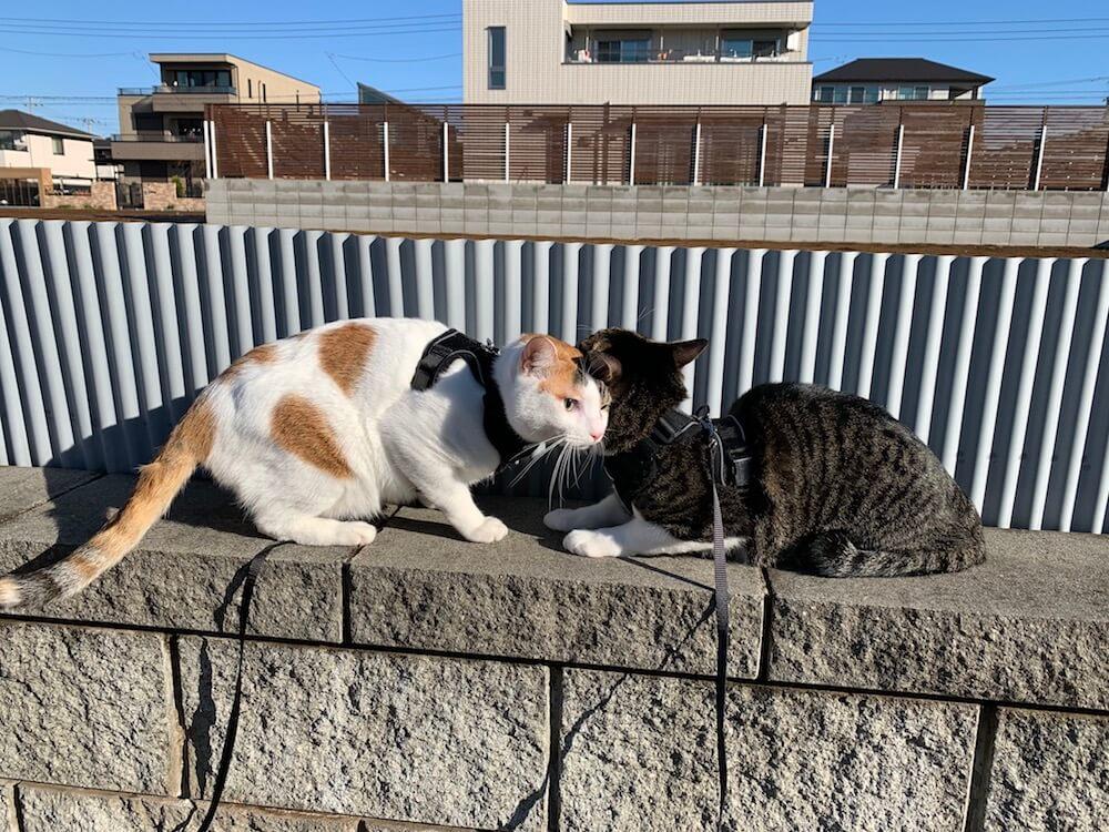 三毛猫 キジ白 ハーネス リード 公園 道路 お散歩