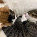 三毛猫 キジ白 猫ブログ 保護猫 元野良猫