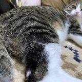 猫 足 脚 ハゲ 毛 脱毛 キジ白