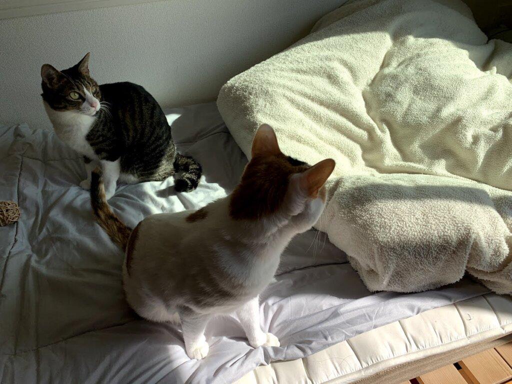 猫 留守番 三毛猫 キジ白 部屋 布団 毛布